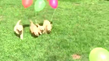 金毛:幼儿园发气球啦!