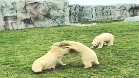 两只北极熊说干架就干架,就连打架都是萌的