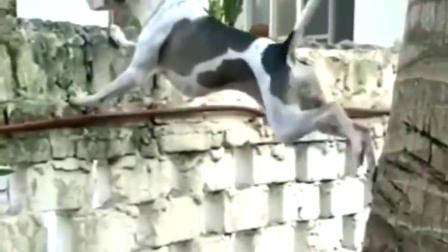 活捉一只爱看热闹的狗子,为了看戏连自己的安危都不顾了