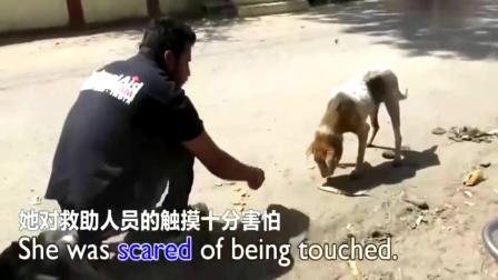 一只流浪狗的救助历程,可怜的狗狗被发现时头部肿胀十分严重