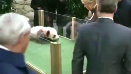 熊猫宝宝:不堪被嘲笑的它,怒吼一声,我可是祖国的国宝啊!