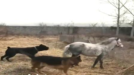 马与犬的对决,调皮的德牧,这样子太欠打了!
