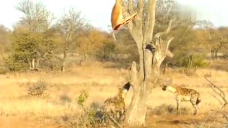 鬣狗发现了树上的食物,可是却不会上树!看到肉也吃不到