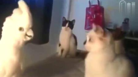 """鹦鹉霸道说""""猫语"""",以一敌三,降服3只喵星人!"""