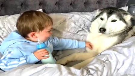 当二哈爱上了小宝宝,二哈:近期根本无心拆家