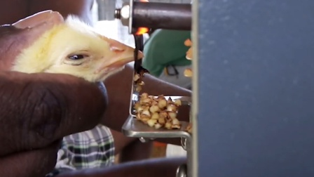 """小鸡被逼""""断喙"""",烧红的铁片直接切断鸡嘴"""