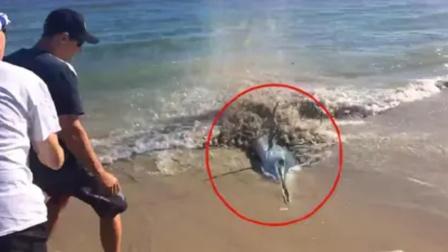 海边一条大鱼搁浅,无一人敢靠近!