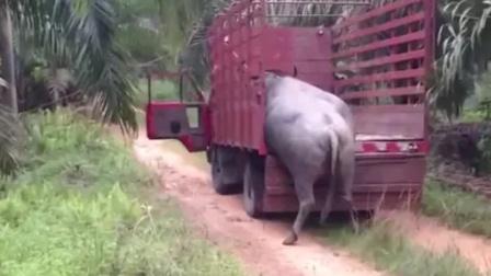 牛儿要被送到屠宰场,却死活不肯上车!