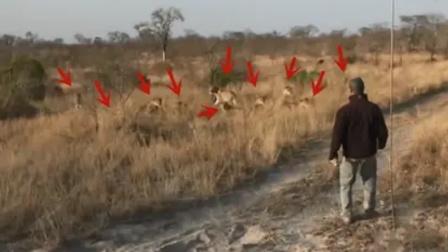 人在野外遇到狮子时,该如何自救?这位男子的做法让人佩服!