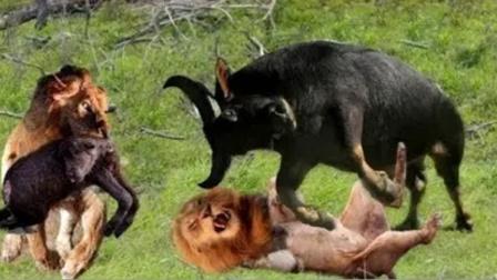 野牛为救同伴,向狮子发起猛攻!