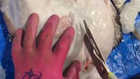 这是海里最能吃的一种鱼,打开肚子都是惊喜