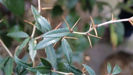 山里这种植物浑身长刺,偏偏能煎汤治病,清肝明目调理肠胃!