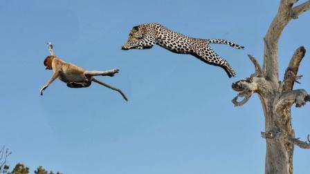 """花豹上树捕猴,一招""""空中飞豹"""",让猴子无路可逃!"""