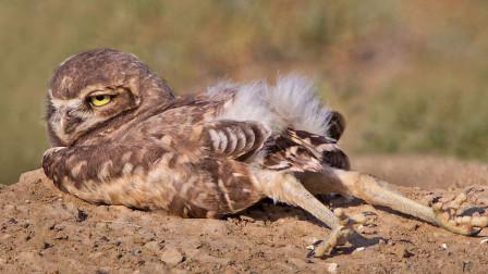 猫头鹰埋头大睡,爆笑走红,才发现脖子以下全是腿!