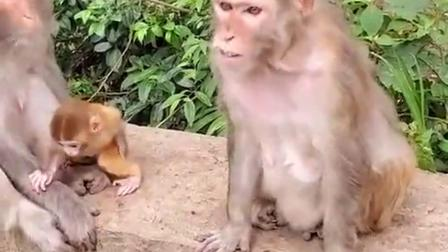原来猴子怀孕以后也会有反应,开眼界了