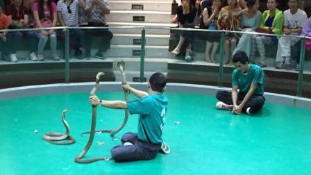 泰新马之旅 参观泰国毒蛇研究中心 看空手斗蛇