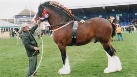 世界上最大的马?体重达1.2吨,一次拉货超5吨,堪比大货车