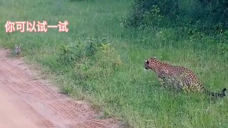 花豹想捕食兔子,兔子:你对速度一无所知?这还是陆地第一短跑王吗?