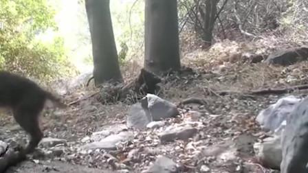 大蟒蛇:山猫丛林大战响尾蛇,僵持中山猫突然袭击。