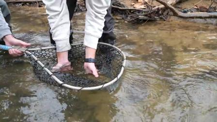 从当地的一条小溪里抓一条棕色的鳟鱼