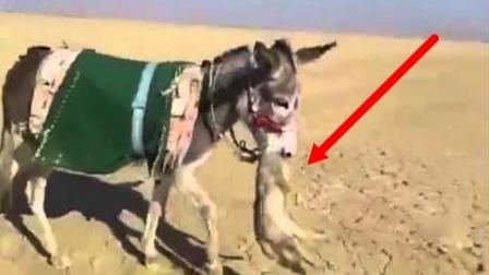 """鬣狗想要捕食驴,却被驴一招""""反杀"""""""