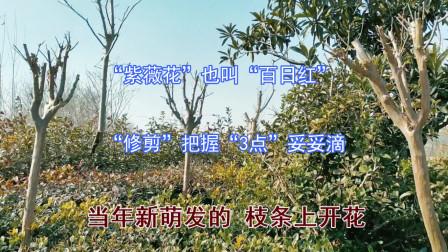 """""""紫薇花""""也叫""""百日红""""!冬季""""修剪""""把握""""3点""""妥妥滴"""
