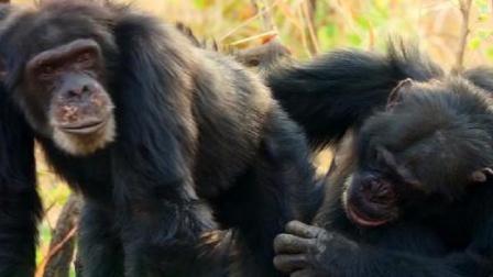 黑猩猩首领通过梳毛笼络盟友,巩固自己的统治权,避免重蹈覆辙