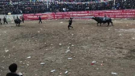 贵州斗牛之乡决战