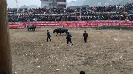 贵州斗牛之乡第七轮