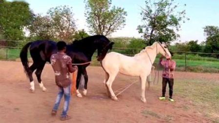 黑马儿见到白马就兴奋地摇尾巴,真是黑白配天生一对!
