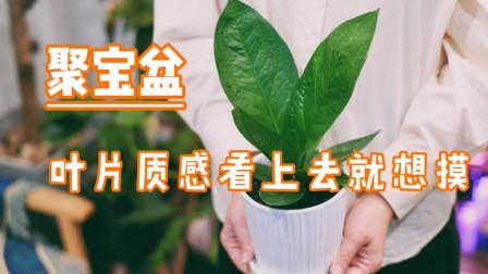 聚宝盆,高颜值的植物你也一定会养护好