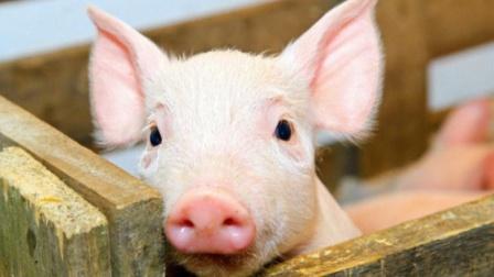 猪才是最聪明的动物,你别不信