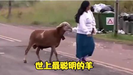 搞笑配音:身上有膻味,被羊到处追,笑到肚子疼!