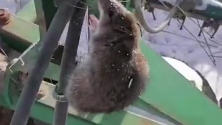 如果这只老鼠被你遇到,你会怎么办?