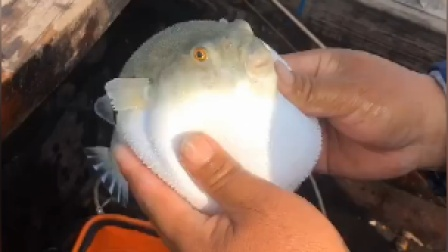 #海钓#海里最好玩的鱼