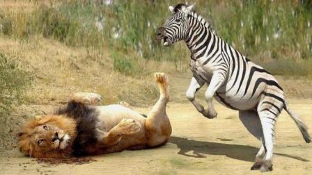 斑马幼崽遭狮子捕杀,母斑马彻底怒了,狮子结局惨不忍睹
