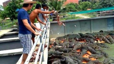 """令人头疼的清道夫,被泰国人直接扔进""""鳄鱼窝"""",网友:这方法好"""