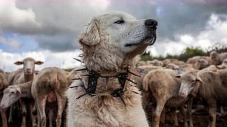"""为啥""""防狼项圈""""让狼群害怕至极?看完佩服游牧民族的智慧!"""
