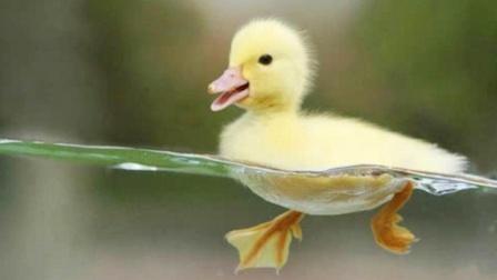 鸭子游泳表面上看似优雅,其实脚下忙成狗,网友:戳中笑点