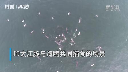 30秒|印太江豚现身广西涠洲岛海域 与海鸥共同捕食