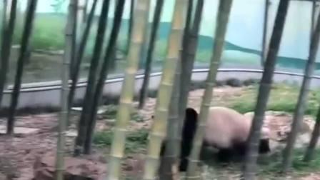 真熊猫VS假熊猫