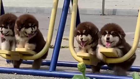 看到这四只小奶狗,悠闲着玩着,都想抱一只回家