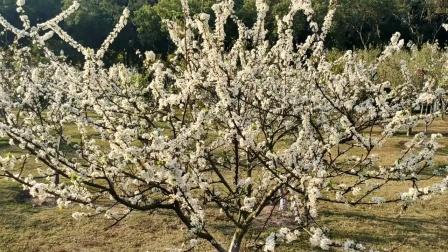 一年一度又春风 马岭公园梨花绽