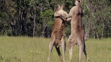爱打架的山羊遇上袋鼠,战斗还没开始就怂了,网友:怕是只假羊吧