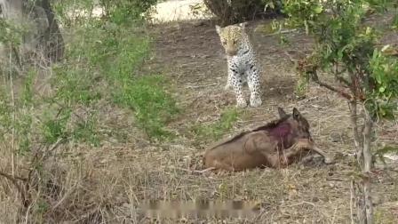角马妈妈觅食归来,发现孩子被猎豹咬伤,角马妈妈的做法让人心痛