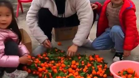 童年趣事:和爸爸分拣橘子