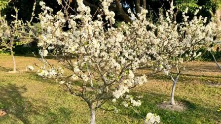 一年一度又春风 公园梨花绽放中