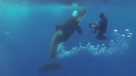 虎鲸的叫声,对得起自己的体型吗?