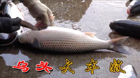 乌头大丰收,好吃的鱼不过乌头,全身都是宝