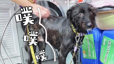 小黑狗不堪暴力洗澡,放连环屁报复,主人淡定:消化不错